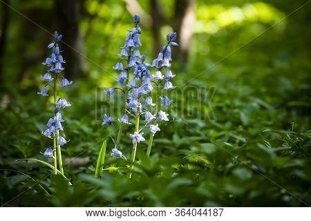 Bluebells In Woodland With Cobweb Growing Alongside