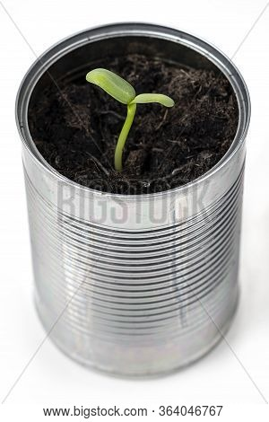 Sunflower Seedling Growing Out Of Recycled Tin Can