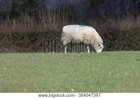Sheep Grazing On Grass On Sussex Farmland