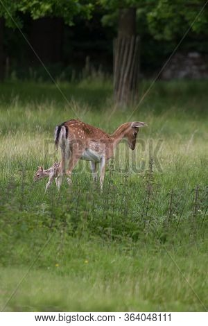 Photo Of A Female Fallow Deer With Her Baby Fawn