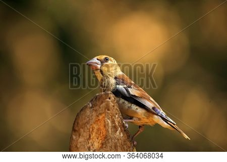 The Hawfinch (coccothraustes Coccothraustes) Sitting On The Branch. Passerine With Colorful Backgrou