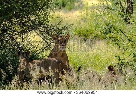 Lioness Under A Tree In The Savannah Of Samburu Park In Central Kenya In East Africa