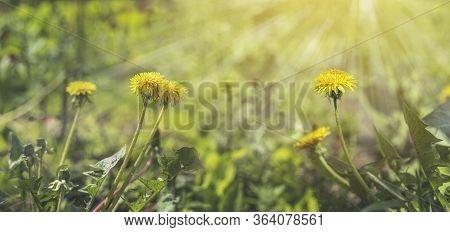 Beautiful Spring Dandelion Flowers. Green Field With Yellow Dandelions. Closeup Of Yellow Spring Flo