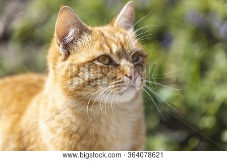 Fluffy Dirty Homeless Red Cat Sits Relax In A Garden Near Blooming Spring Flowers. Clear Weather, Th