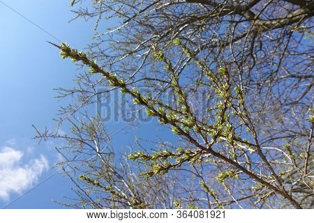 Buds Begin To Bloom Against A Soft Blue Sky