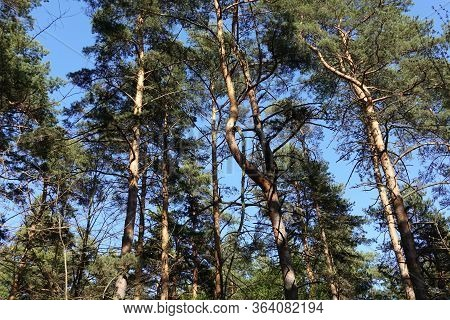 Tall Pine Trees Against The Blue Sky