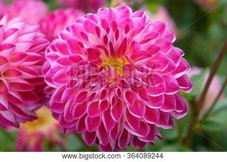Blume Blühen Blüte Dahlia Rosa Pink Pflanze Fauna Garten