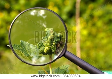 Plant Leaves Damaged By Aphid Invasion. View Through A Magnifying Glass.