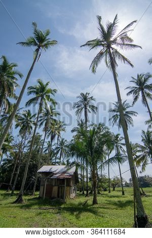 Wooden House At Lush Green Coconut Farm At Malaysia.