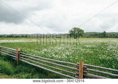 Flowering Wild Narrow Leaf Narcissus Field In Natural Lowland Habitat. Famous Narcissus Valley, Inte