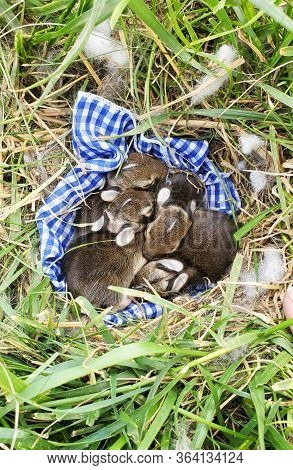 A Nest Of Newborn Wild Rabbits On A Blue Gingham Cloth In A Grassy Yard In Illinois.