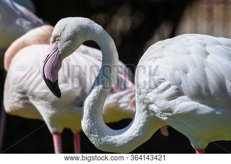 A Greater Flamingo Stands By The Water In The Middle East (phoenicopterus Roseus).