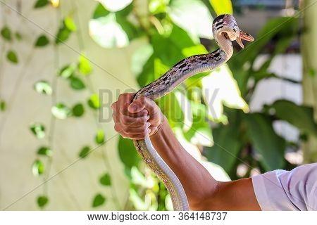 Close Up Rat Snake On Hand Asia Man