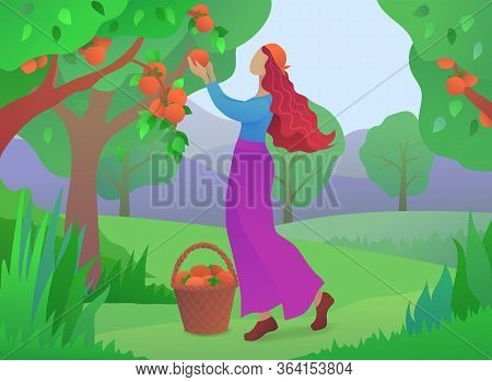 Girl Farmer Picking Ripe Persimmons From Tree. Organic Farming And Fruits Harvesting In Garden. Youn