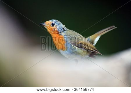 The European Robin (erithacus Rubecula) Sitting On The Dry Trunk. A Young Robin Stands On A Trunk Wi