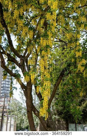 A Picture Of Some Laburnum Blooming In Downton Vancouver .         Vancouver Bc Canada