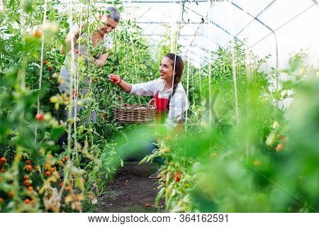 Two Women Working In Greenhouse. Happy Woman Picking Ripe Tomatoes In Greenhouse.