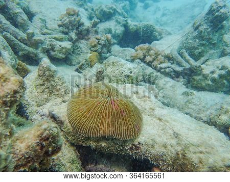 Mushroom Coral, Fungi Species In The Tropical Coral Reefs