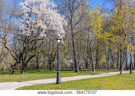 Spring Landscape Of Public Park In Sunny Day. Blooming White Cherry Trees And Footpath With Lantern