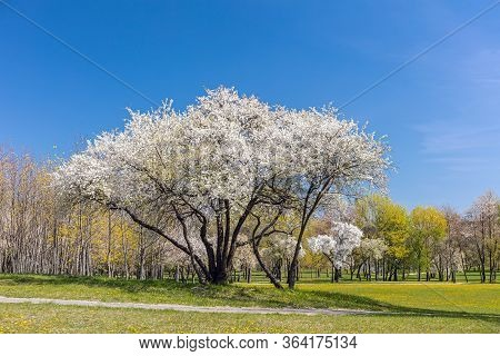 Blooming White Cherry Tree Against Clear Blue Sky. City Park At Early Spring