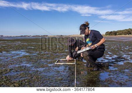 Coronet Bay, Victoria/australia, 2020: Scientist Studying Distribution Of Seagrass At A Coastal Area