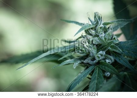 Bush Flowering Herb Hemp With  Flowers. Cannabis Plants,trichomes.