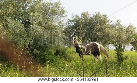 Piebald Horse Feeding In Lush Green Spring Olive Grove Meadow In Southern Andalusia