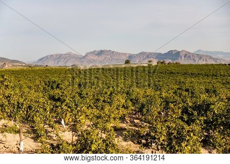 View Over Orange Grove With Mountains In Background