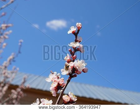 Bees Collect Nectar From A Flowering Apricot