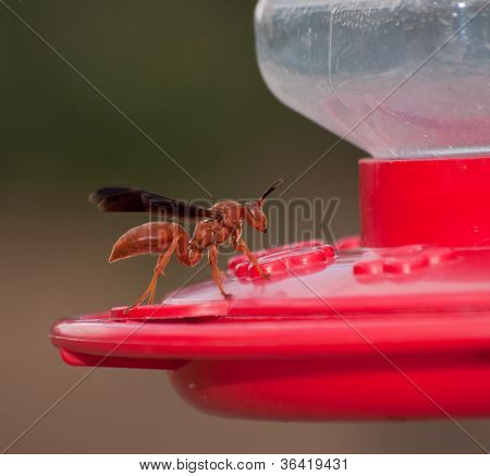 Unwelcome guest at Hummingbird feeder - a Red Wasp has scared off Hummingbirds