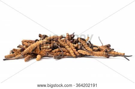 Close Up Ophiocordyceps Sinensis Or Mushroom Cordycep This Is A Herbs. Medicinal Properties In The T