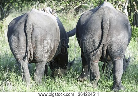 Two Rhinos Graze With Their Tails Towards The Camera. The Caudal Part And Hind Legs Of Two Rhinos. T
