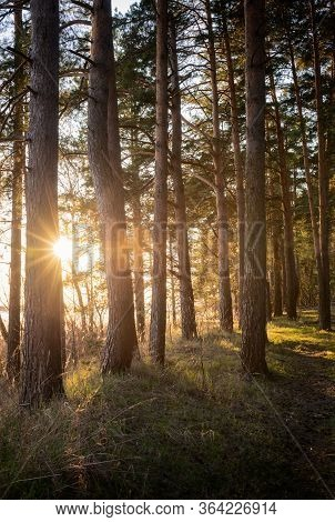 Warm Back Sun Light With Spring High Pine Forest Tree