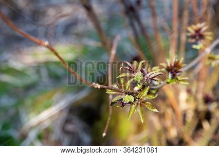New, Fresh, Green Leaves Are Blooming On A Branch Of A Shrub. Fresh Greens Appear On The Plants In S