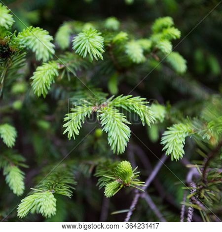 Pine Tree With Fresh New Grown Pine Needles