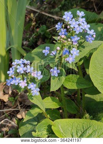 The Plant Of Myosotis Featuring Alpestris Flower. The Botanical Family Of Myosotis Is Boraginaceae