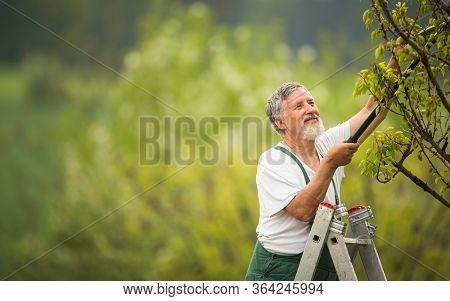 Senior man gardening in his garden (color toned image), taking good care of his fruit trees from a ladder
