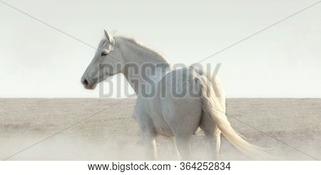 White Horse In The Fog Stands And Looks Around. Calm Old Gelding Of Gray Color Walks In The Field On