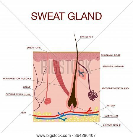 Sweat Glands Apocrine, Eccrine And A Sebaceous Gland.healthy Skin Anatomy