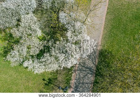 Aerial Top-down View Of Blooming Cherry Trees In City Park At Sunny Spring Day