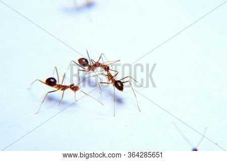 Ant Activity, Oecophylla Smaragdina Is A Colony Of Ants. Ants Are Large And Red In Color