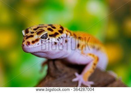 Leopard Gecko Lizard, Close Up Macro. Cute Leopard Gecko Portrait (eublepharis Macularius).
