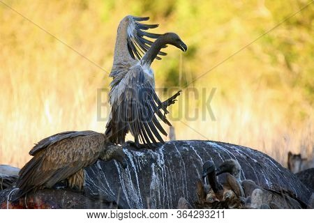 The White-backed Vulture (gyps Africanus) Sitting On The Hippo's Carcass. Vulture Sitting On Hippo A