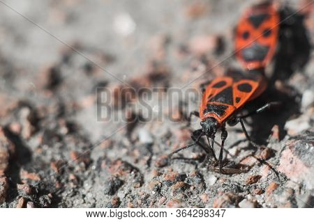 Beetle Soldier Or Firebug In Macro With Blurred Background. Eyes, Head In Focus And Body In Red And