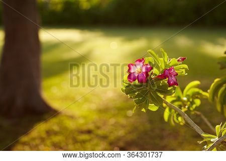 A Bright Pink Flower On A Green Branch Blooms In The Garden. Flowering Shrub, Flowering Shrub. Close