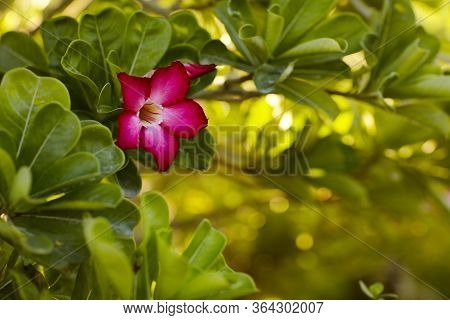 A Bright Pink Flower On A Green Branch Blooms In The Garden. Flowering Shrub, Flowering Shrub