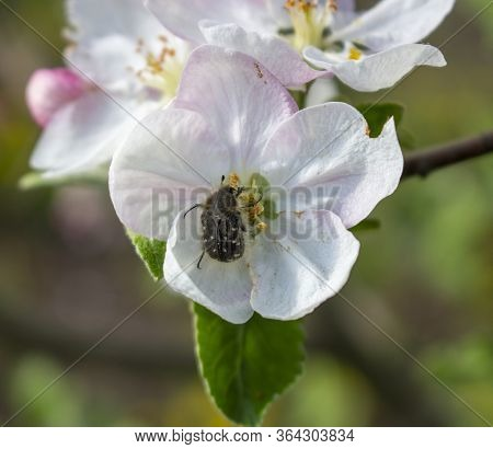 Destruction Of The Fruit Harvest Of Apples By The Insect Tropinota Hirta, A Pest That Feeds On Inflo