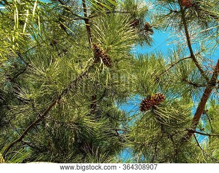 Young Yellow Cones On Pine Branches On A Background Of Blue Sky. Close-up. Evergreen Landscaped Gard