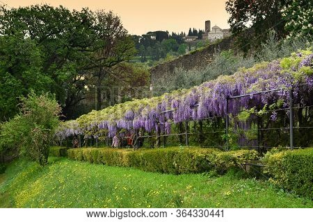 Florence, April 2019: Beautiful Purple Wisteria In Bloom. Blooming Wisteria Tunnel In A Garden Near