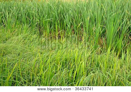 Green Grass In The Swamp